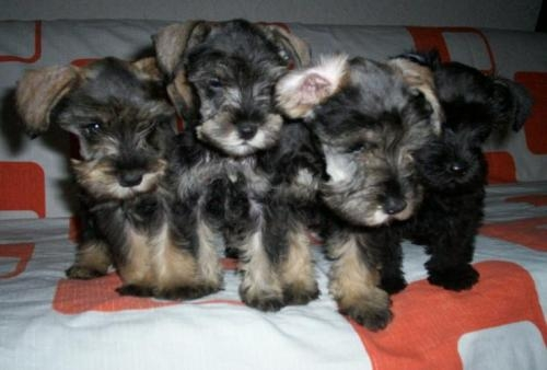 Perros bebés esnauser - Imagui
