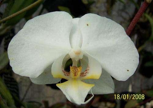 Orquideas, phalaenopsis, muchas variedades!!!