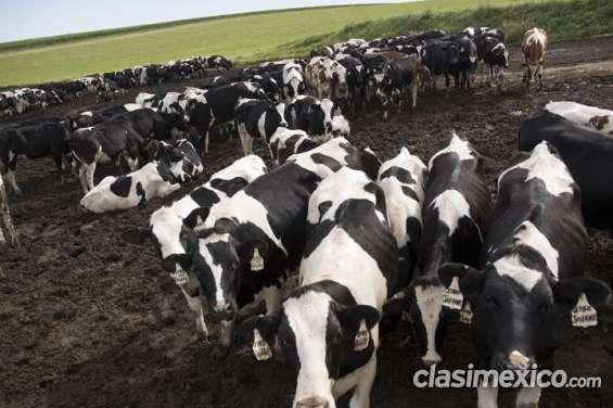 Lechería holstein / jersey, herford y vacas de angus para la venta