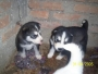 husky cachorritos parecen lobitos baratos