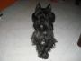 koby en busca de novia (schnauzer miniatura negro)